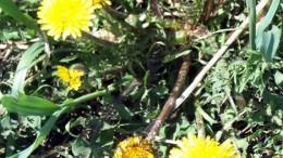 Одуванчики в цвету