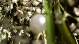 Жемчужина весны