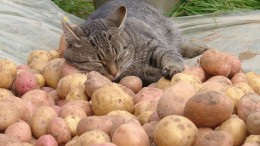 Картофельный барон