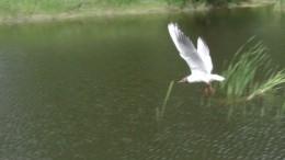 Чайка.