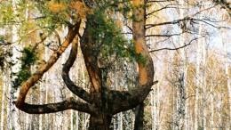 Дерево на Даниловом Озере