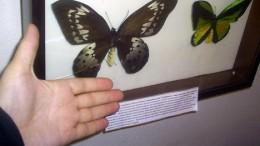Бабочка из страны великанов