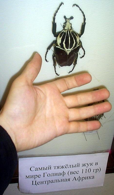 Увесистое насекомое