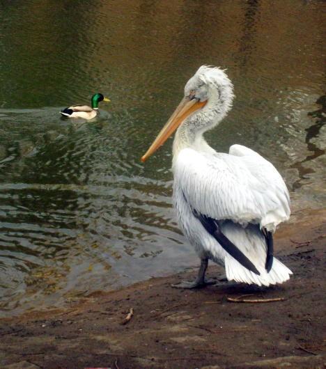 Пеликан в Омске