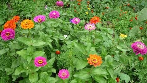 Цинния, Цветы, Омск