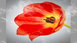 Сердце тюльпана