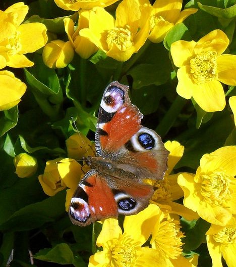 Первая бабочка на первых цветах