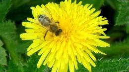 Пчёлка на одуванчике