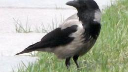 Омская ворона