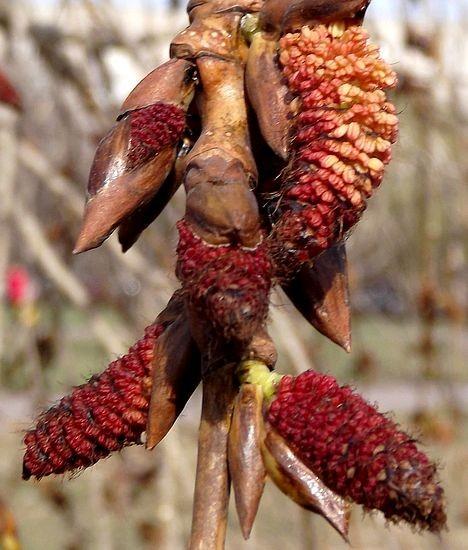 Мужские цветы тополя