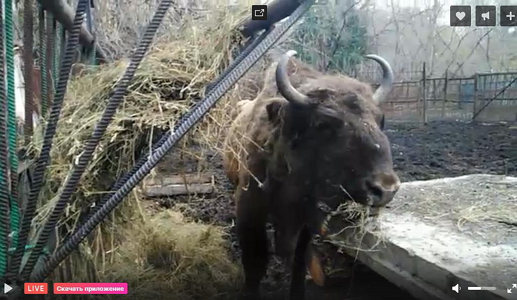 Зубр в Большереченском зоопарке