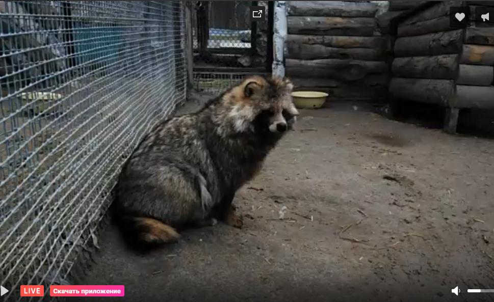 Енотовидная собака в Большереченском зоопарке