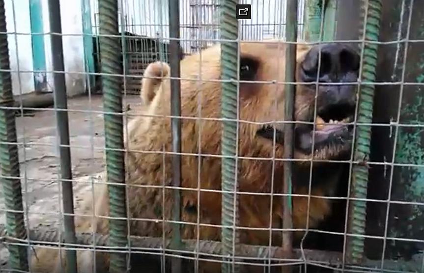 Бурый медведь в Большереченском зоопарке
